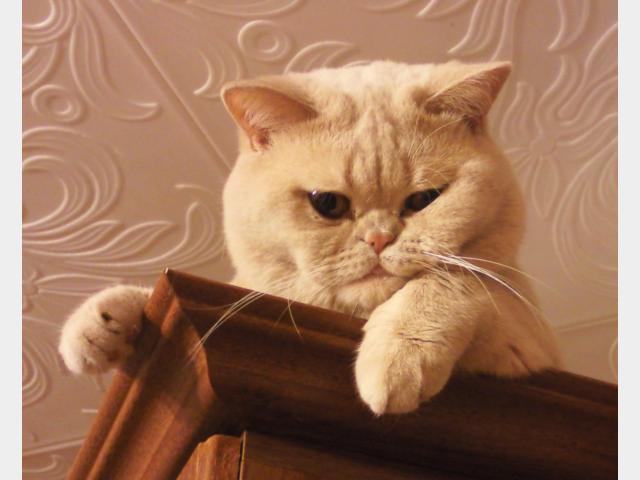 Вязка: брианского кота для вязки предлагаю