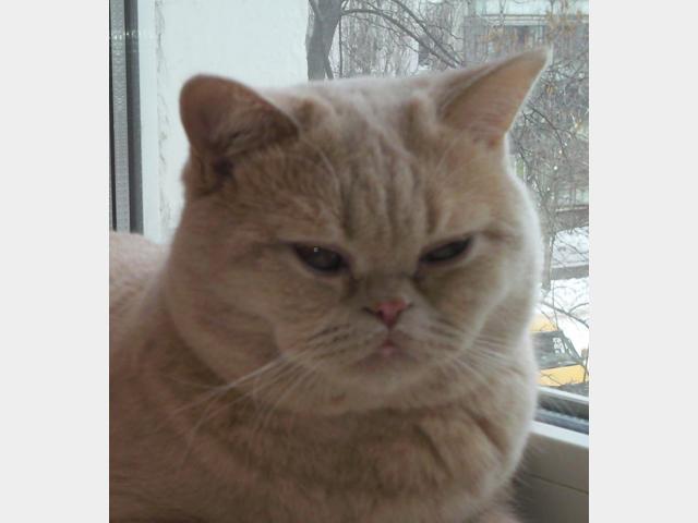 Вязка: брианского кота для вязки предлагаю фото2