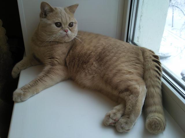Вязка: брианского кота для вязки предлагаю фото3