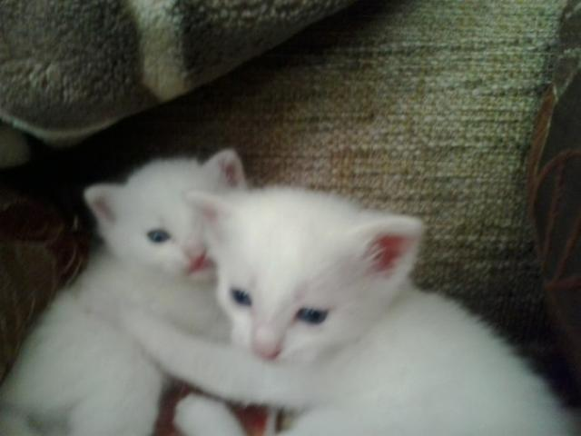 Продаю: Два прекрасных белоснежных котенка ждут хозяев