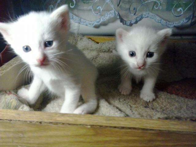Продаю: Два прекрасных белоснежных котенка ждут хозяев  фото4