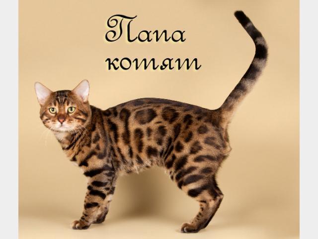 Продаю: Бенгальские котята ирбисы и леопарды