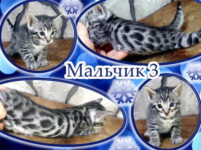 Продаю: Бенгальские котята ирбисы и леопарды фото2