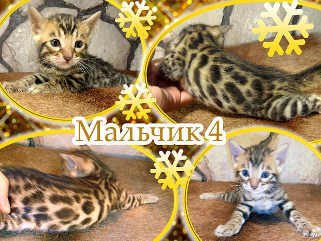 Продаю: Бенгальские котята ирбисы и леопарды фото3