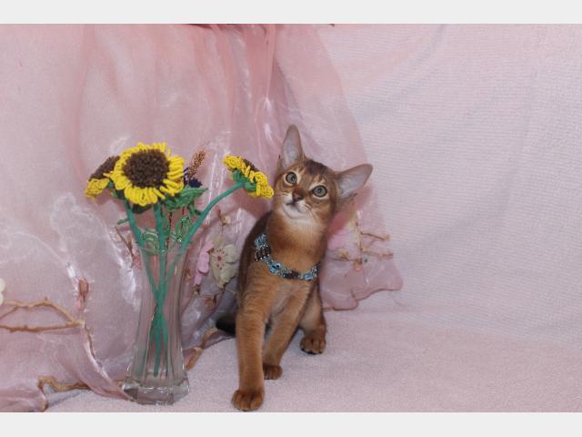 Продаю: абиссинские котята
