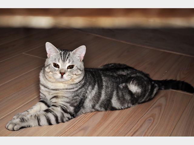 Вязка: Британский кот ищет кошку для вязки