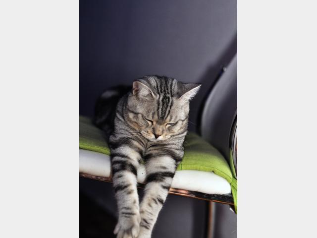 Вязка: Британский кот ищет кошку для вязки фото2