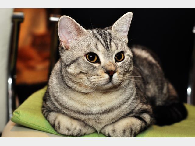 Вязка: Британский кот ищет кошку для вязки фото3