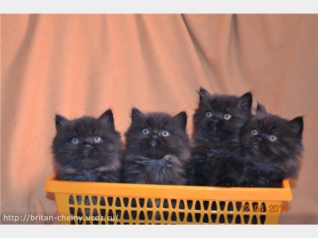 Продаю:  британских котят в Наб Челнах