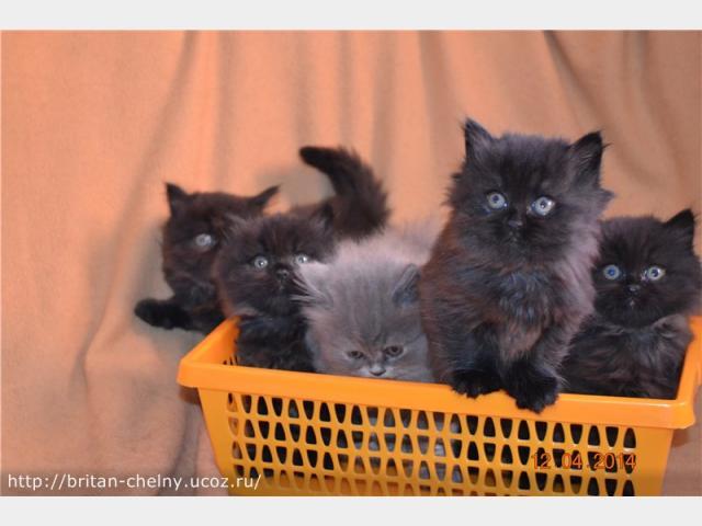Продаю:  британских котят в Наб Челнах фото2