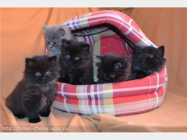 Продаю:  британских котят в Наб Челнах фото3
