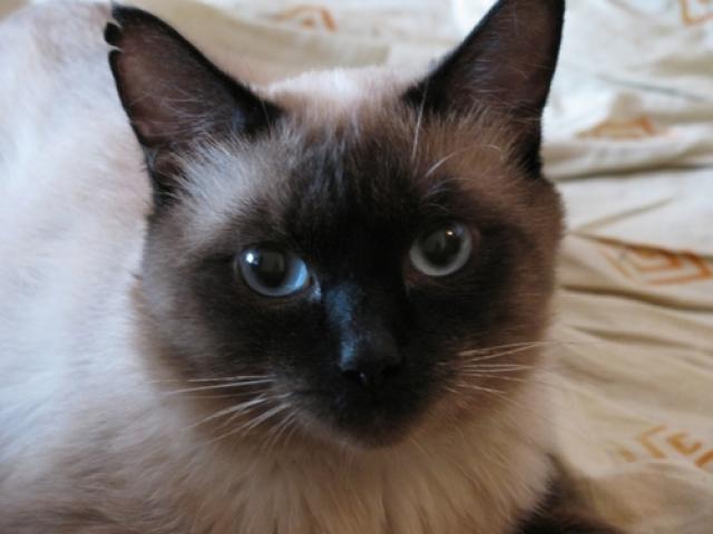 Потерялся/Нашелся: Потерялся сиамский кот рядом с домом на Щорса 55