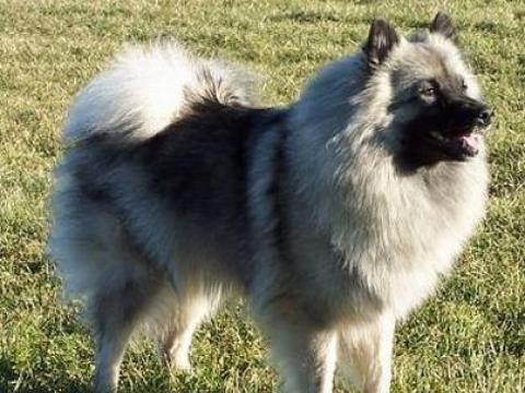 Немецкий шпиц волчий