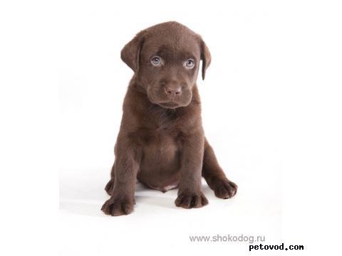 Продаю: Шоколадные щенки лабрадора фото4