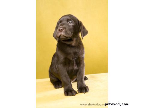 Продаю: Шоколадные щенки лабрадора фото2