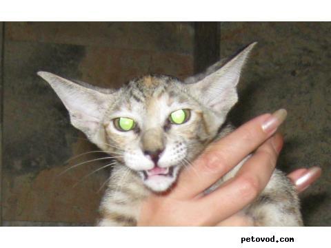 Продаю: Ориентальные котята фото4
