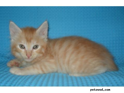 Продаю: курильский бобтейл котята фото2