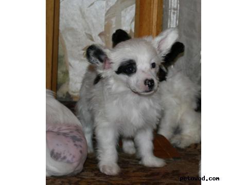 Продаю: Китайская хохлатая собака фото4