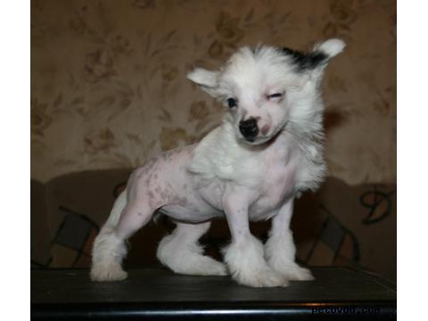Продаю: Китайская хохлатая собака фото3