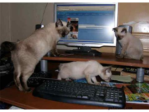 Продаю: котята меконгского бобтейла фото3