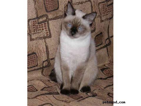 Продаю: котята меконгского бобтейла фото2