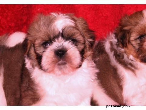 Продаю: Ши-тцу Собака-хризантема фото3