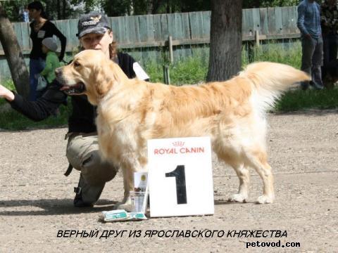 Продаю: Золотистого ретривера щенков фото4