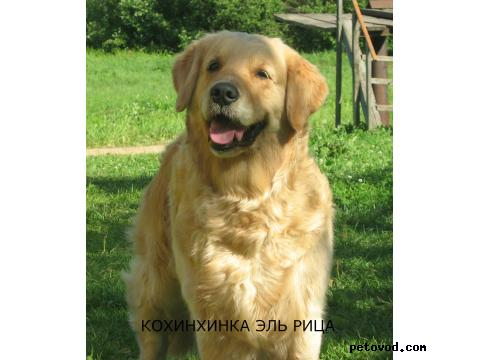 Продаю: Золотистого ретривера щенков фото2