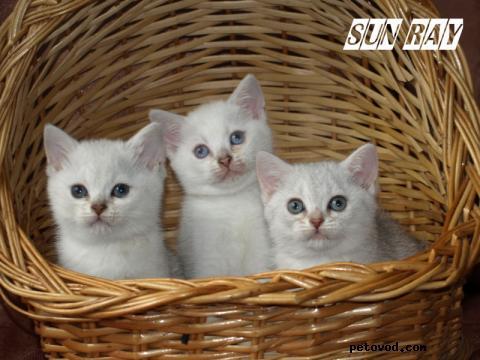 Продаю: Котята британской шиншиллы фото3