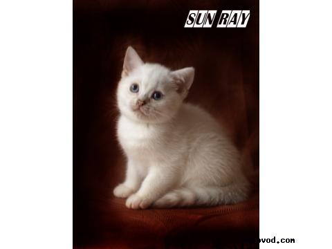 Продаю: Котята британской шиншиллы фото2