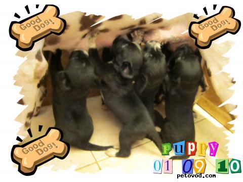 Продаю: подарю очаровательных щеночков метисов далматина 1 фото4