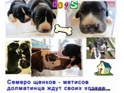 Продаю: подарю очаровательных щеночков метисов далматина 1 фото2