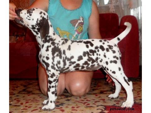 Продаю: Продается щенок далматина, девочка фото2