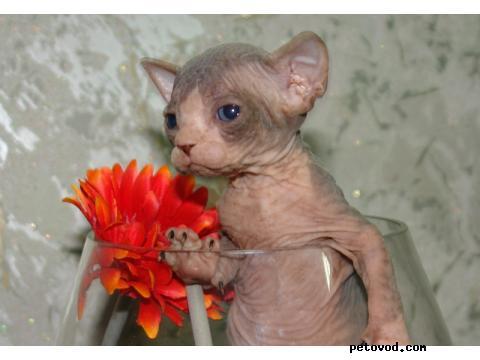 Продаю: канадский сфинкс котята фото2
