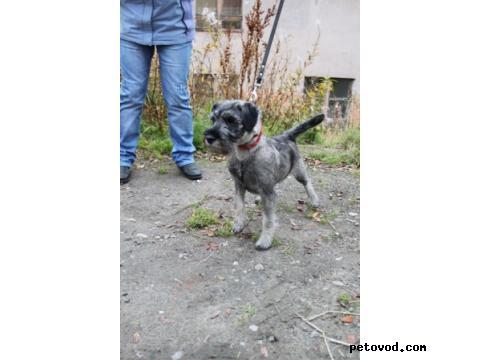 Продаю:  щенка миттельшнауцера (девочка 4 мес) фото2