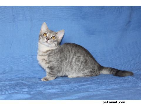 Продаю: Манчкин-подрощенные котята, 5 мес фото4