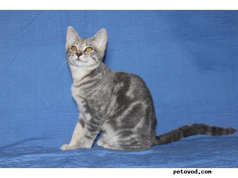 Продаю: Манчкин-подрощенные котята, 5 мес фото3