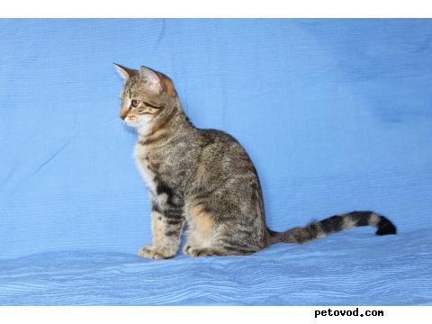 Продаю: Манчкин-подрощенные котята, 5 мес фото2