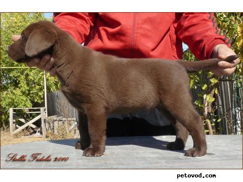 Продаю: лабрадора щенки фото3