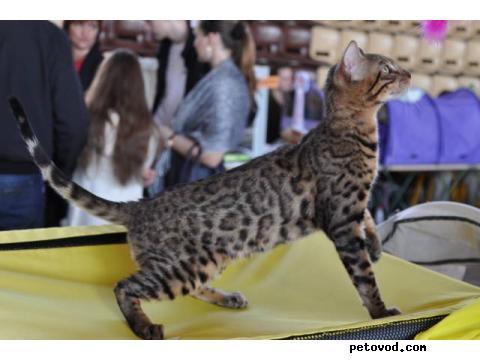 Продаю: продаю бенгальских котят Вязки фото4