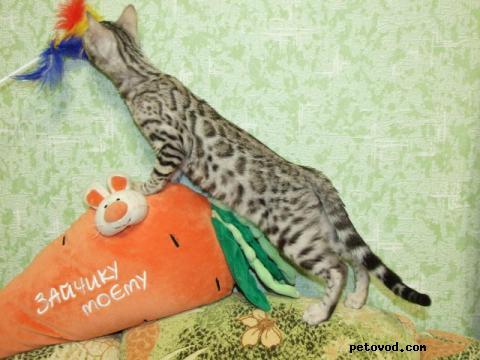 Продаю: продаю бенгальских котят Вязки фото3