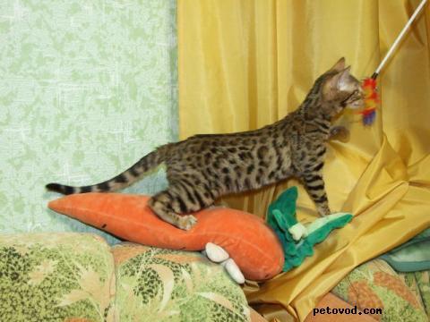 Продаю: продаю бенгальских котят Вязки фото2