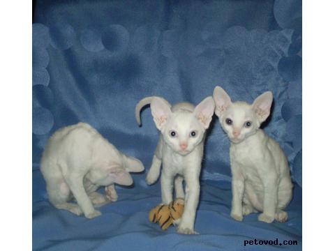 Продаю: Котята корниш рекс фото2