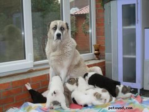 Продаю: щенки среднеазиатской овчарки (алабай) фото2