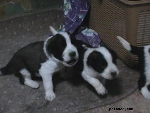 Продаю: московская сторожевая овчарка щенки фото2
