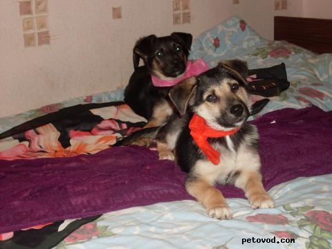 Отдам в дар: Тельма и Лиза Небольшие щенки метисы фото4