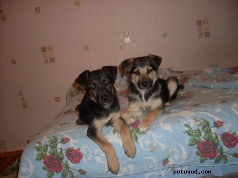 Отдам в дар: Тельма и Лиза Небольшие щенки метисы фото2