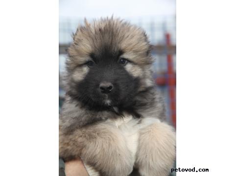Продаю: щенки кавказской овчарки фото4