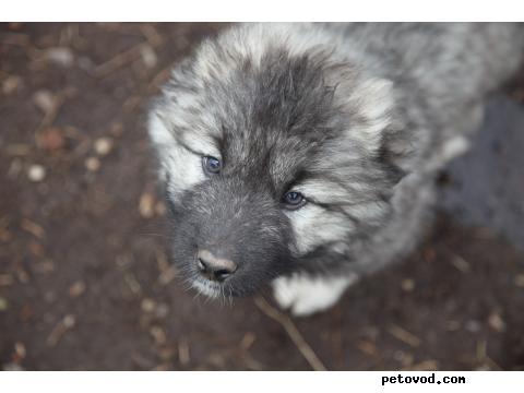 Продаю: щенки кавказской овчарки фото3