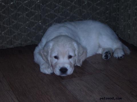 Продаю: Срочно щенки золотистого ретривера фото3